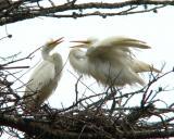 Young egrets