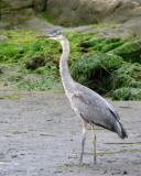 Great blue heron near rookery