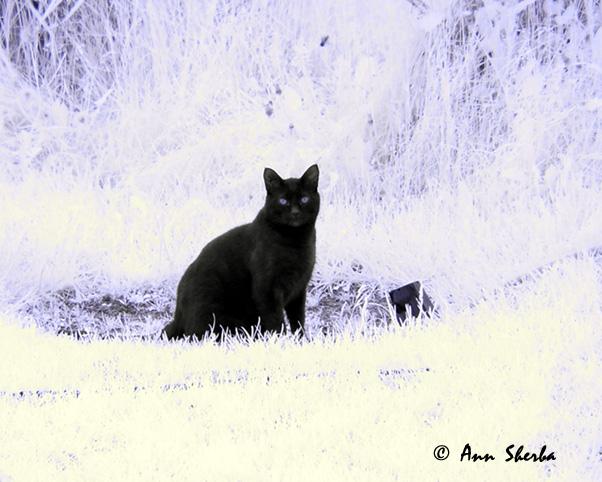 infrared cat.jpg