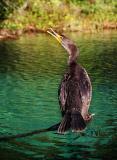 cormorant50mm.jpg
