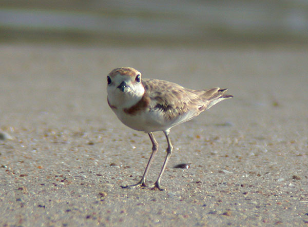 Malaysian Plover, female