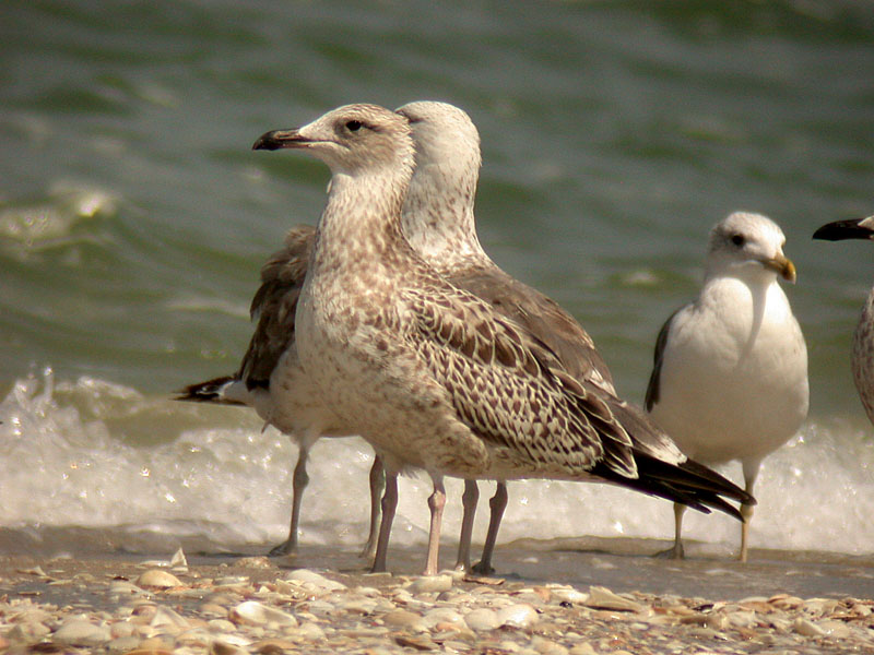 Heuglinns Gull and Black-tailed Gull