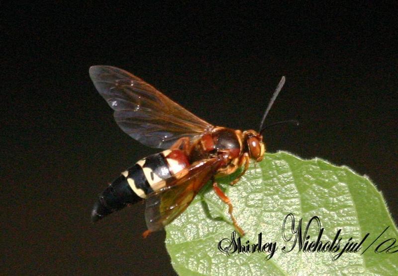 hornet in U.S.A.