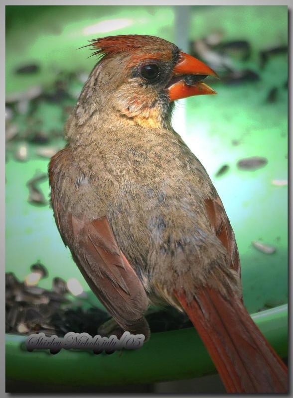 First year female red bird.jpg