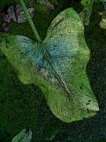 Dog-Faced Leaf