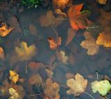 Drowned leaves