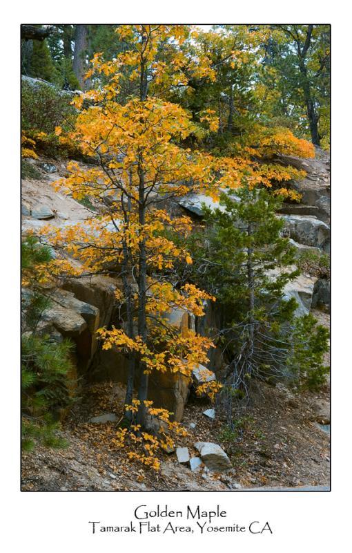 Golden Maple.jpg   (Up To 30 x 45)