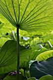 Lotus patch from below (Ueno Garden, Tokyo)