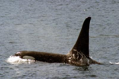 More Orca.jpg