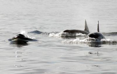 Orca Sept 12 066.jpg