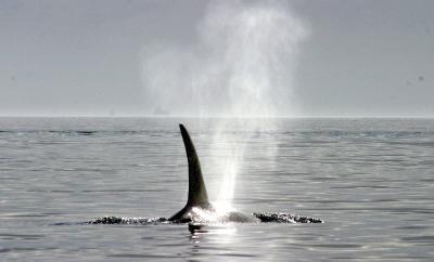 Orca Sept 12 058.jpg
