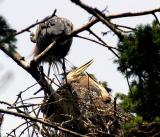May 31 050033 Heron chick.JPG
