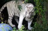 61. More Tiger