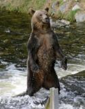 Grizzly Bears of Knight Inlet - Sept 2005