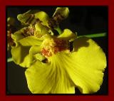 Oncidium the Details