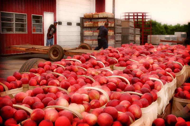 Cooley s Peach Farm