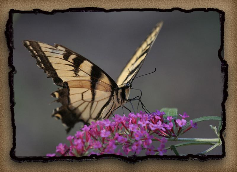 Versace Butterfly