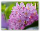 Soft Colored Rhododendron