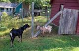 Descendents of Paula Sandburg's goats