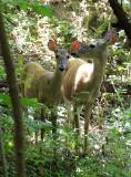 Woodland Whitetail Deer