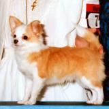 Winners Dog: Chihuahua Club of America
