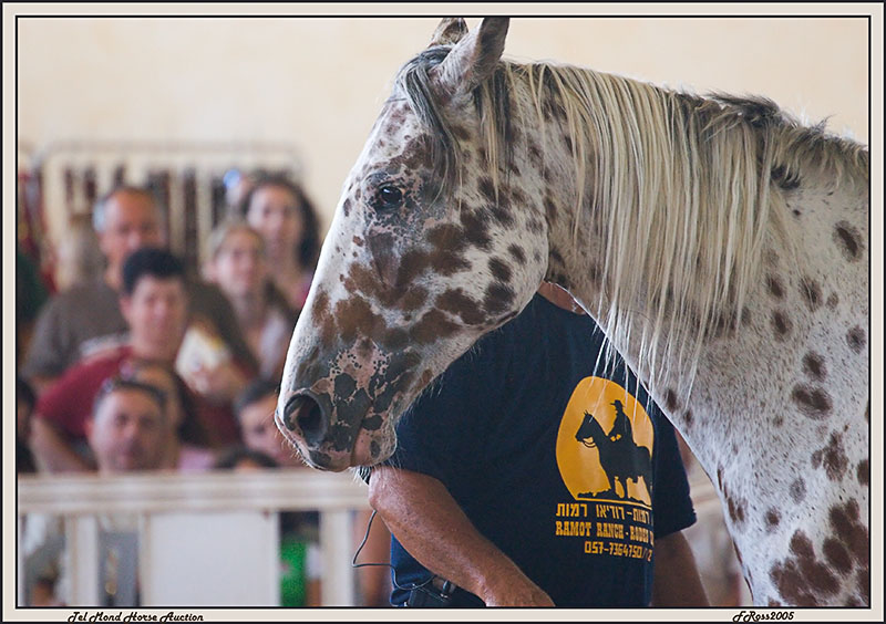Tel Mond Horse Auction.jpg
