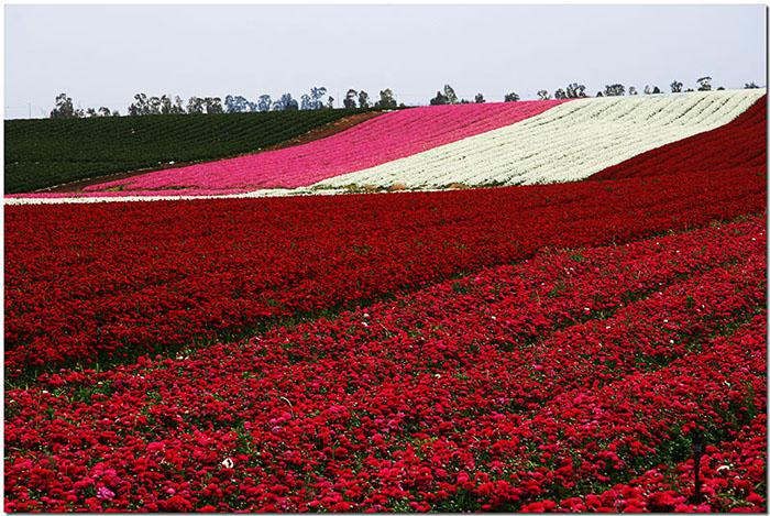 Carpet of Flowers.jpg