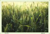 Crop of Corn.jpg