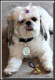 My Dog Tzu-Li almost 5 years old.jpg