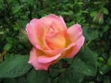 The Rose - Auto