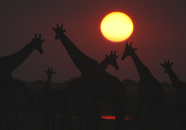 Giraffe at sunset, Chobe