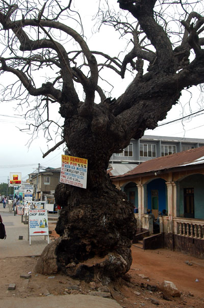 Massive dead tree, Nkrumah Ave.