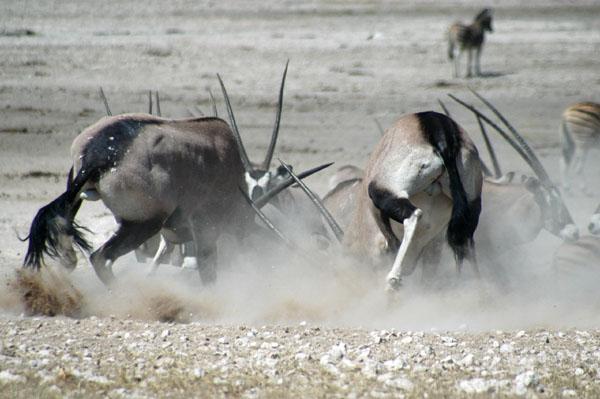 Gemsbok (Oryx) fighting at the Nebrownii waterhole, Etosha