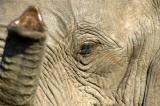 Close-up elephant, Chobe National Park