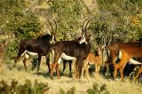 We were lucky and found a herd rare of Sable Antelope