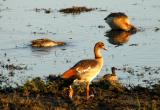 Egyptian goose, Chobe