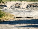 Deadly Black Mamba sunning itself on the road, Chobe