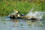 A pair of Nile crocodiles fighting