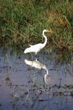 Great Egret,   Chobe, Botswana