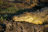A huge Nile Crocodile