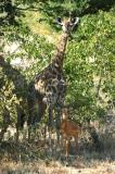Giraffe and Impala on the walk to the falls