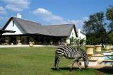 Zebra at the Royal Livingstone