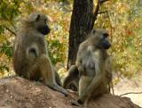 Baboons, Zambia