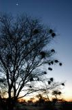 Tree with nests at dawn