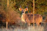 Large male kudu behind a game fence along the main road