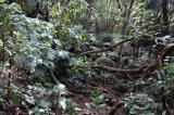 Jungle above Danzilles, north Mahé Island