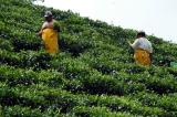 Tea Plantation, Chemin Forêt Noire