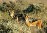 Pair of black-backed jackals near Wolfsnes