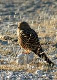 Greater Kestrel, Etosha, Namibia