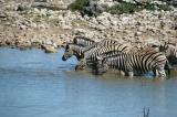 Plains Zebra in the waterhole at Okaukuejo